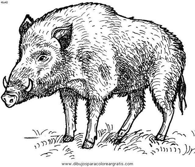 animales/cerdos/jabali_4.JPG