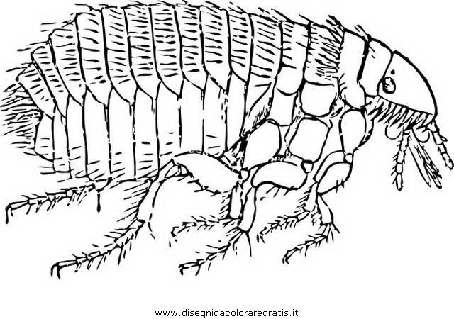 animales/insectos/piojo_3.JPG