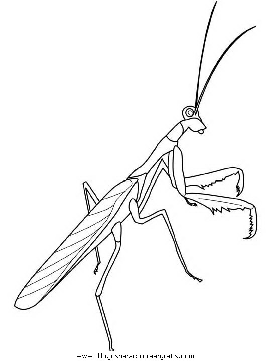 animales/insectos/praying-mantis.JPG