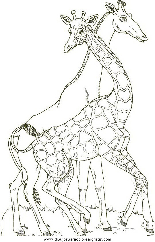 animales/jirafas/jirafas_21.JPG