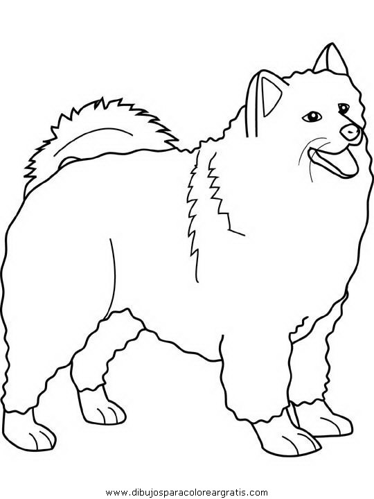 animales/perros/samoyed.JPG