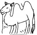 animales/camellos/camellos_17.JPG